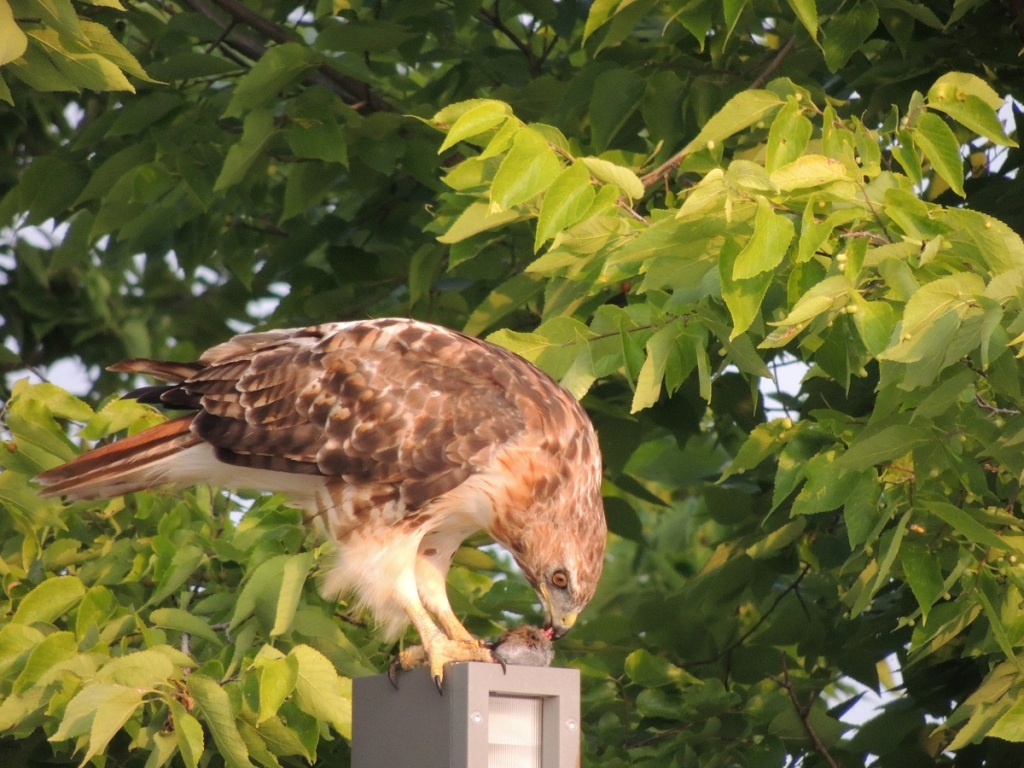 A hawk sighting at Aga Khan Park, August 7, 2021. Perched on flat top of lighting pole, and feeding on its freshly hunted prey, most probably a mouse. Photo: © Malik Merchant/Simergphotos.