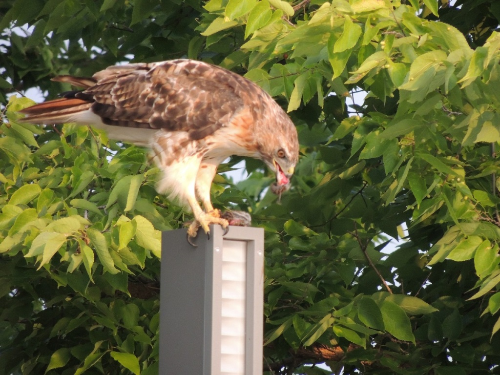 A hawk sighting at Aga Khan Park, August 7, 2021. Perched on flat top of lighting pole, and feeding on its prey, Photo: