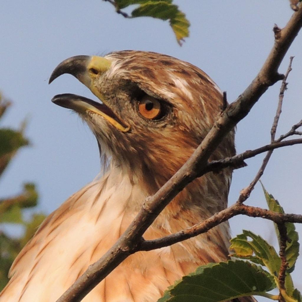 A hawk sighting at Aga Khan Park, August 7, 2021. © Malik Merchant/Simergphotos.