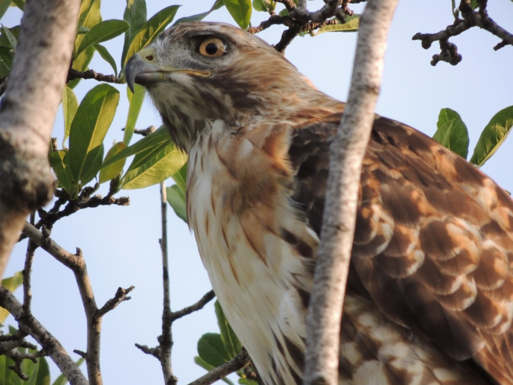 Hawk at Aga Khan Park