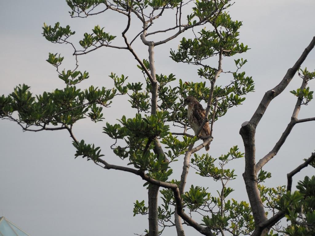Hawk at Aga Khan Park and Jamatkhana dome, Simergphotos