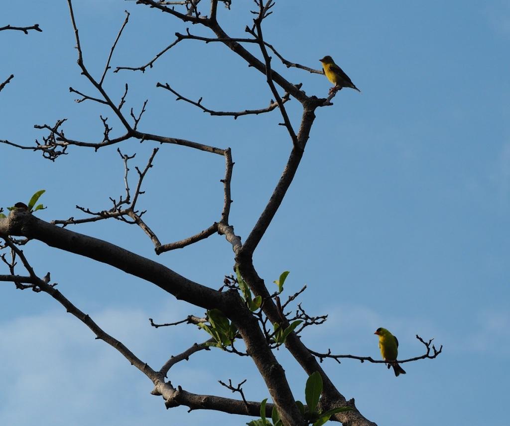 Orioles at Aga Khan Park