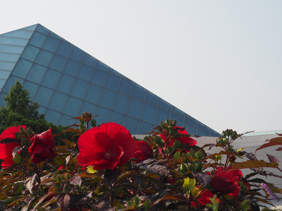 Hibiscus flowers at Aga Khan Park, with a view of the Ismaili Headquarters Jamatkhana dome as the backdrop, August 9, 2021. Photo: Malik Merchant/Simergphotos.